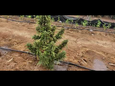 Cali Hemp Farmers talks about small scale hemp farming… 2-10 acres