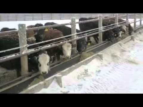 WBDC - Backgrounding Calves on Annual Forages