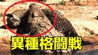 【野生動物の戦い】①ワニVSジャガー ライバル対決!②ワニVSライオン泳ぐ...