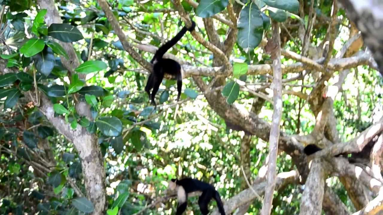 Monkeys On The Beach At Manuel Antonio National Park Costa Rica