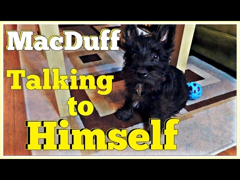 MacDuff The Scottish Terrier Gets Chatty With Himself
