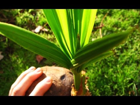 Growing Coconut Palms From Coconuts (Update #4)