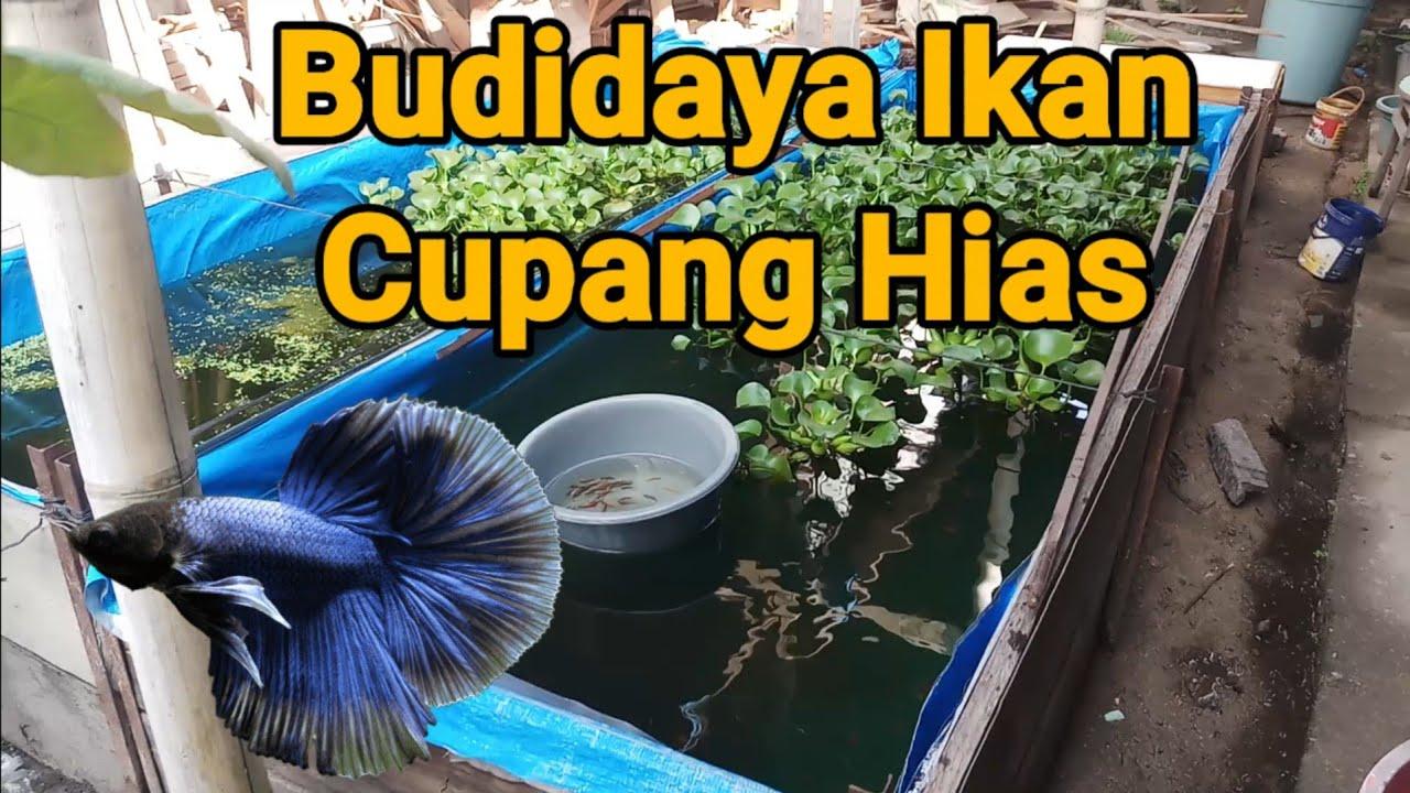 Budidaya Ikan Cupang Hias Selayo Solok Sumbar - YouTube