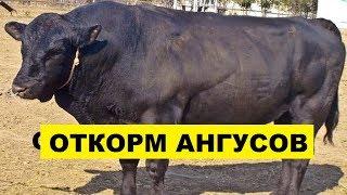 Откорм Абердин-Ангусских бычков как бизнес идея | Откорм Ангусов