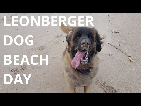 BEACH DAY WITH MY LEONBERGER DOG #LEONBERGER #DOG #ANIMAL