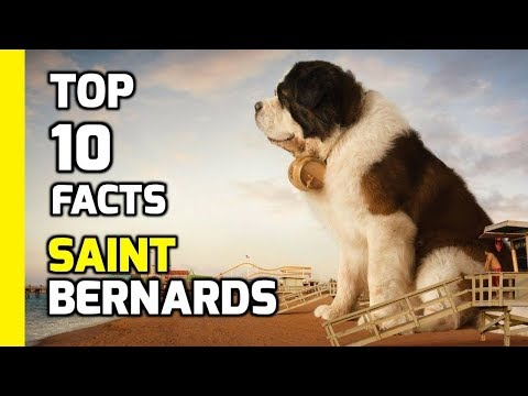 Top 10 facts about Saint Bernards - Part 2 (Interesting Facts)