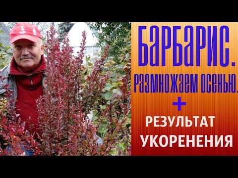 Барбарис  Размножаем осенью + Результат укоренения