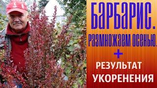 Барбарис Розмножуємо восени + Результат вкорінення