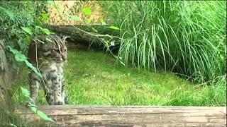хаус или камышовый кот.mp4