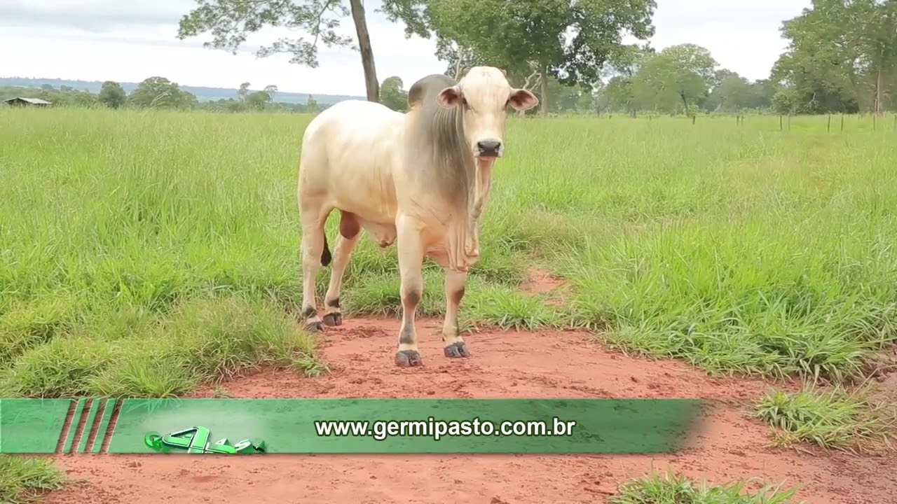 Download PASTO PIATA MAS PRODUCCION PARA GANADOS DE CEBA