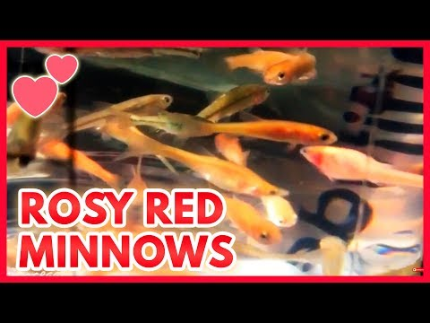 Rosy Red Minnows |Feeder Fish To Pond Fish|