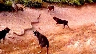 Huge King Cobra Vs A Pack Of Domestic Dogs