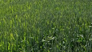 5 мая осмотр пшеницы ,экспорцет