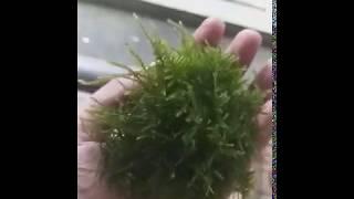 Moss Christmas Wabikusa Xmast - Tanaman Aquascape - Hiasan Aquarium Akuarium