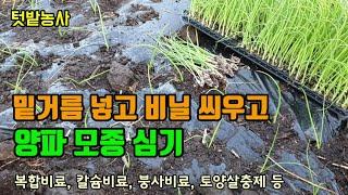 텃밭농사 양파 밑거름으로 유기농퇴비 복합비료 칼슘과 붕…