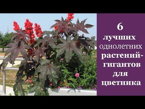 ❀ 6 лучших однолетних растений-гигантов для цветника