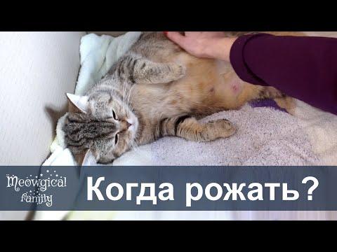 Как понять что кошка скоро будет рожать?