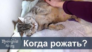 Как понять что кошка будет рожать?