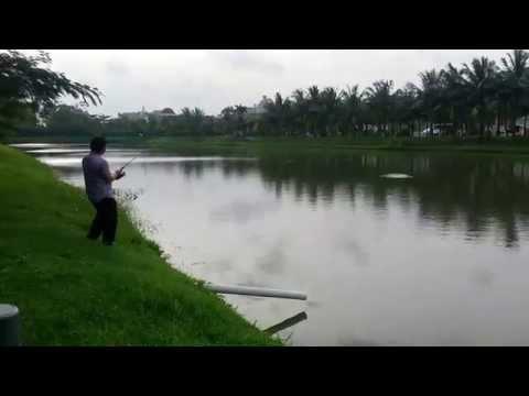 Mancing Mania ikan Toman gabus terbesar di jakarta