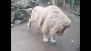 Лев испугался как котёнок