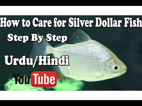 How To Care Silver Dollar (Step By Step) Urdu/Hindi
