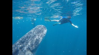 Whale Shark Encounters  Season 2018