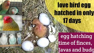 surprise egg hatching of love birds/egg hatching time of birds