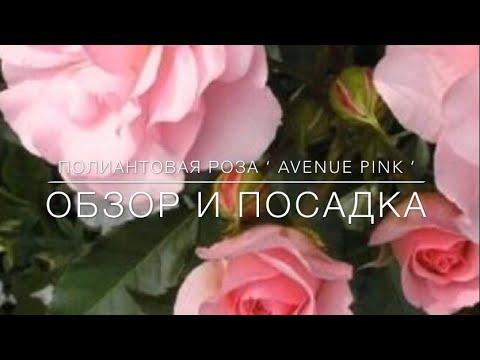 Полиантовая Роза ' Avenue Pink ' / Обзор и Посадка