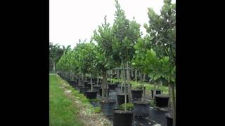 clusia rosea autograph trees 786 255 2832 we deliver