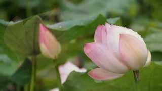 лотос -  священный цветок  чистоты... Secret Garden - lotus