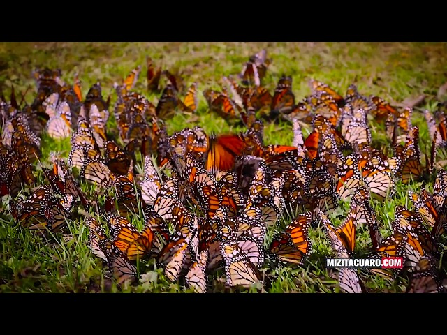 Los Santuarios de la Mariposa Monarca 2017