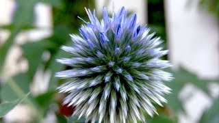 How to grow Globe Thistle - Gardening 101 by Dr. Greenthumb