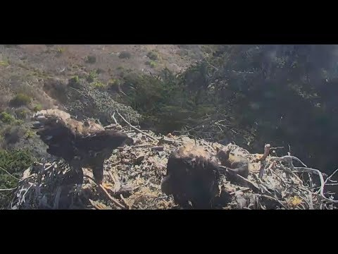 WARNING GRAPHIC VIDEO: Sauces Bald Eagles...