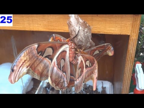 Farfalle Cobra - Video Accoppiamento Falena Saturniidae La Casa al Parco Magicland