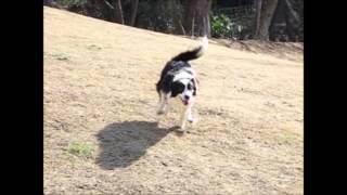 下り斜面を駆け降りる犬の、高速度撮影です。 画面ではわかりにくいです...