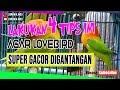 Lovebird Ngekek Dan Gacor Digantangan Buruan Lakukan Ini Lbmania Indo  Mp3 - Mp4 Download