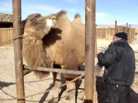 Wild Camel in captivity.MPG