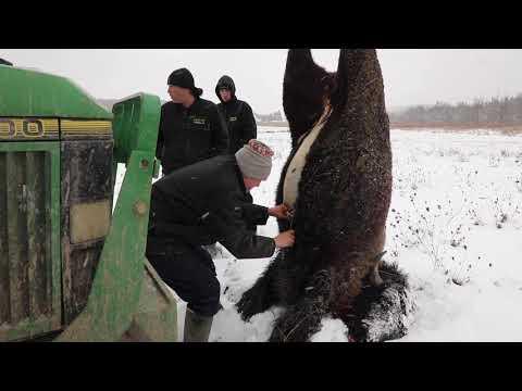 Gakwi:yo:h Farms First Bison Harvest
