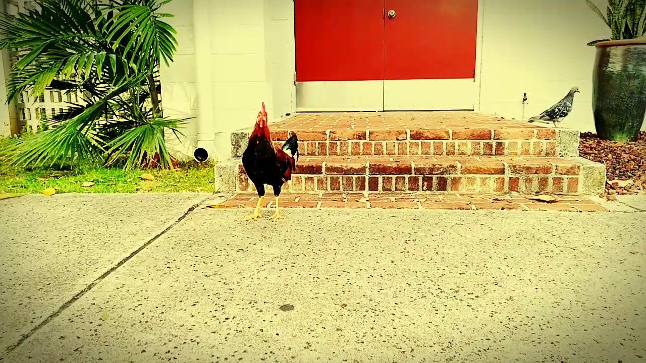 Download Rooster Beat