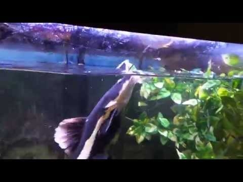 BABY REDTAIL CATFISH in aquarium. from YouTube · High Definition · Duration:  2 minutes 54 seconds  · 1,000+ views · uploaded on 10/20/2015 · uploaded by Automatic Universe