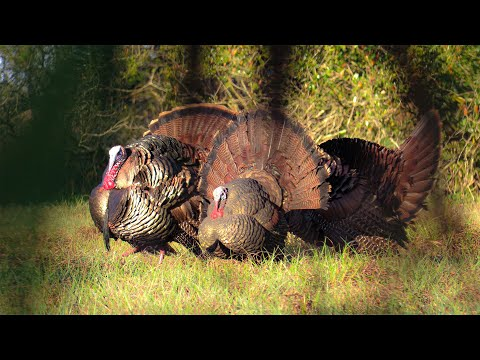 EPIC WILD Turkey Hunt *NON STOP GOBBLES* {Catch Clean Cook} Florida Turkey Hunting