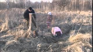 Выпуск Дальневосточных лесных котов и обыкновенных канюков