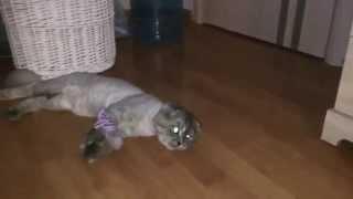 Стрижка шотландского кота не понравилась его кошке Хамсе))) Нарядный и нелюбимый кот ТОМ )))