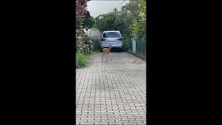 Fawn Gets Stuck and Hits Fence Then Runs Past Guys