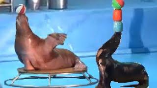 Выступление моржей в дельфинарии Санкт-Петербурга(Выступление моржей в дельфинарии Санкт-Петербурга https://youtu.be/RjTGv1Ad2iQ Мой канал «Мир творчества», где я показ..., 2016-07-22T23:06:50.000Z)