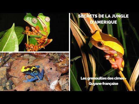 Les grenouilles des cimes - Guyane française