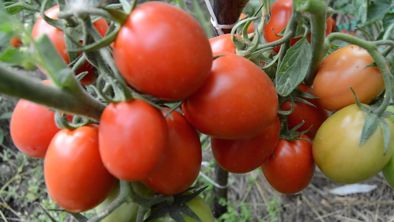 томат рио фуэго отзывы фото