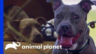Street Dog Ash Just Wants a Little Love | Pit Bulls & Parolees