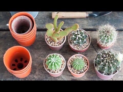 Cómo reproducir el cactus mediante esquejes - Bricomania - YouTube