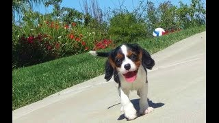 'bonnie' Female Cavalier Mixed Puppy In San Deigo